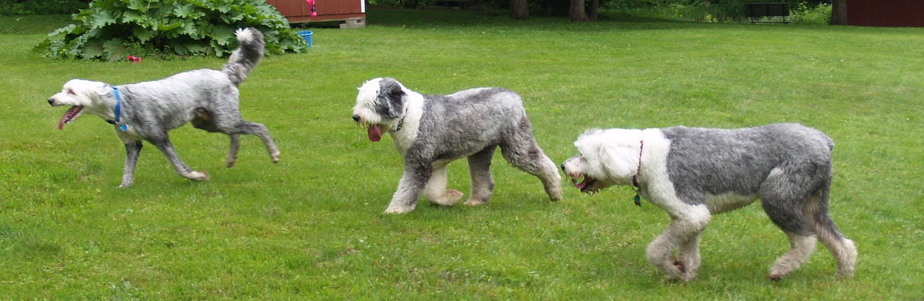 New England Old English Sheepdog Rescue
