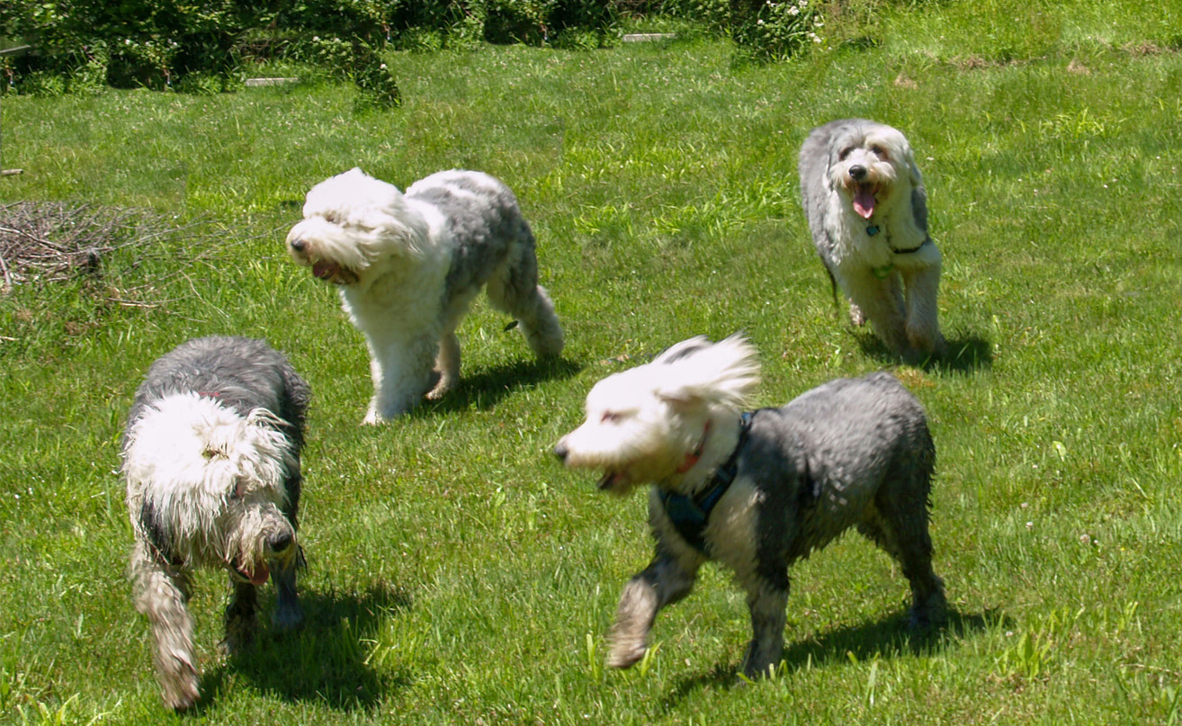 Old English Sheepdogs playing in the field